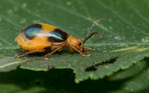larger elm leaf beetle