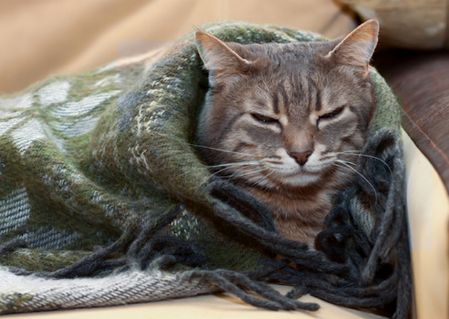 cat with a blanket