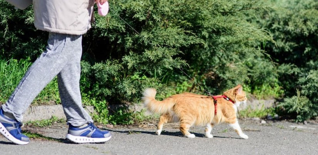 owner walking the cat