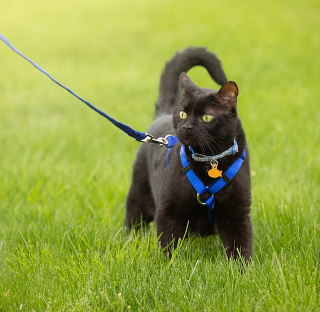 black cat with blue harness